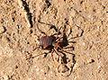Araña Cangrejo.JPG