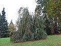 Arboretum de Bagnoles - Hêtre pleureur.jpg