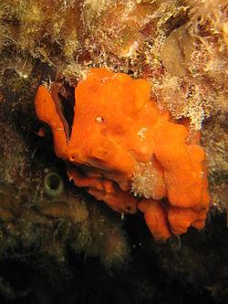 Arche de Noé, dans son milieu naturel. Sa coquille est recouverte par une éponge, de couleur orange.