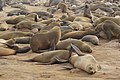 Arctocephalus pusillus (Cape fur seals at Cape Cross).jpg