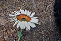 Arctotis fastuosa - Cape-daisy IMG 5572.jpg