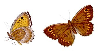 Arethusana arethusa - Rotbindiger Samtfalter.jpg