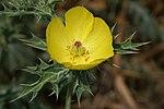 Argemone mexicana flower 2.jpg