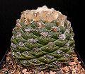 Ariocarpus fissuratus1 ies.jpg