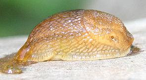 Arion fuscus, Tschechien
