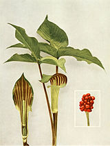 Arisaema triphyllum WFNY-003.jpg