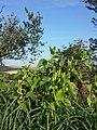 Aristolochia clematitis sl21.jpg