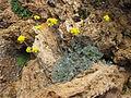 Artemisia glacialis 01.jpg