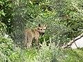 Artis Hudson Bay Wolf (36498409666).jpg