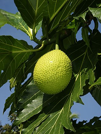 Breadfruit - Breadfruit at Tortuguero, Costa Rica