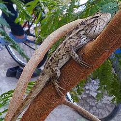 Arya.oriental garden lizard.bunglon.tigaputra.2019.jpg