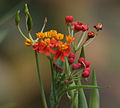 Asclepias curassavica (Mexican Butterfly Weed) W IMG 1488.jpg