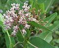 Asclepias syriaca flower.jpg