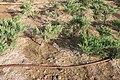 Ashgabat water for trees IMG 5839 (25838301760).jpg