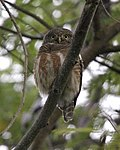 Asian Barred Owlet (Glaucidium cuculoides) - Flickr - Lip Kee.jpg