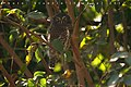 Asian Barred Owlet kalakote.jpg