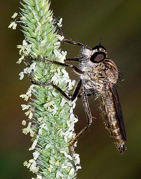 Asilidae Philonicus albiceps fg02.JPG