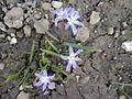Asparagales - Scilla forbesii - 1.jpg