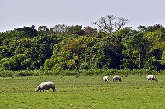 Kaziranga National Park - One horned Indian rhinos grazing at swamp area near Bagori range under Kaziranga National Park in Nagaon district of Assam, India on Thursday. For years, rhinos have been widely slaughtered for their horn, a prized ingredient in traditional Asian medicines. Destruction of their habitat over the years has brought the rhinos to the brink of extinction. These animals are among the world's most endangered species.