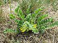 Astragalus exscapus sl15.jpg