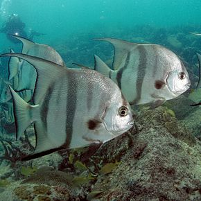 Description de l'image Atlantic Spadefish PLW edit.jpg.