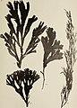 Atlas des algues marines les plus répandues des côtes de France - 48 planches représentant 108 espéces d'algues faciles a récolter avec leur description ainsi que celles des espèces les plus viosines (19722937323).jpg