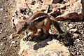 Atlashörnchen (10581866073).jpg
