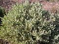Atriplex confertifolia (3753462373).jpg