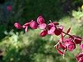 Atriplex hortensis var. rubra 2021-09-01 9965.jpg