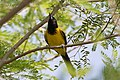 Audubon's Oriole National Butterfly Center Mission TX 2018-03-04 15-13-43 (38870977550).jpg