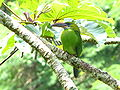 Aulacorhynchus sulcatus -Aragua State -Venezuela-8.jpg