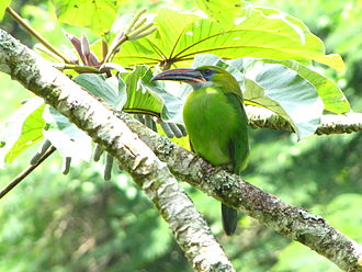 Groove-billed toucanet - In Henri Pittier National Park, Aragua State, Venezuela