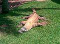 Australian Komodo dragon.jpg