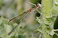 Austrolestes cingulatus03.jpg