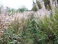 Autumn Willowherb (Epilobium) - geograph.org.uk - 250318.jpg