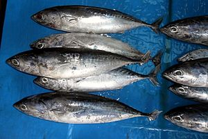 Bullet tuna - Image: Aux roch 130511 2031 plrtu