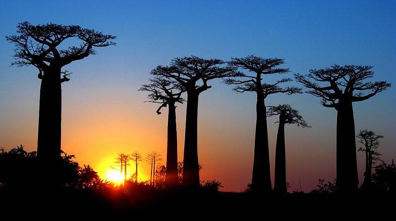 File:Avenue des Baobab (4990213079).jpg
