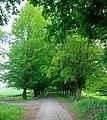 Avenue of Beech trees near Hinton Ampner - geograph.org.uk - 439286.jpg