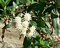 Baccharis salicifolia 2.jpg