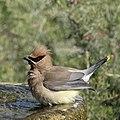 Backyard Bird (49814695157).jpg