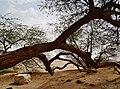 Bahrain Tree of Life 21.jpg