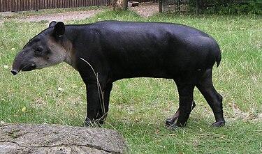 Центральноамериканский тапир (Tapirus bairdi)
