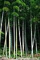 Bamboo(bySYamada).jpg
