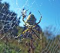 Banded spider covered in dew (30148456732).jpg
