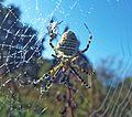Banded spider covered in dew (30148456732).jpg