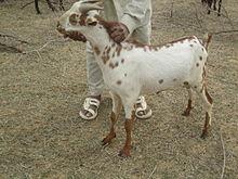 Barbari goat - Wikipedia