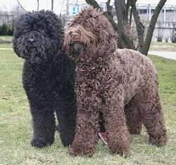 Barbet Dog For Sale