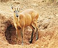 Barking Deer, Biligirirangana Hills.jpg
