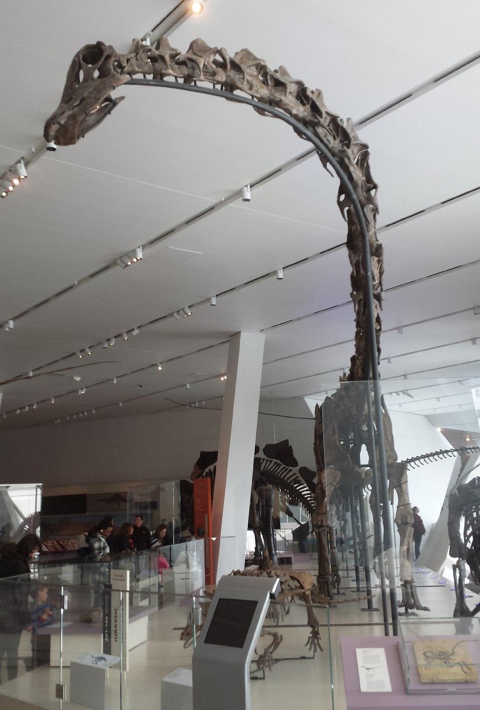 Barosaurus - Sauropod Dinosaur at ROM