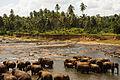 Bathing elephants. Udawalawe National Park. Sri Lanka.jpg